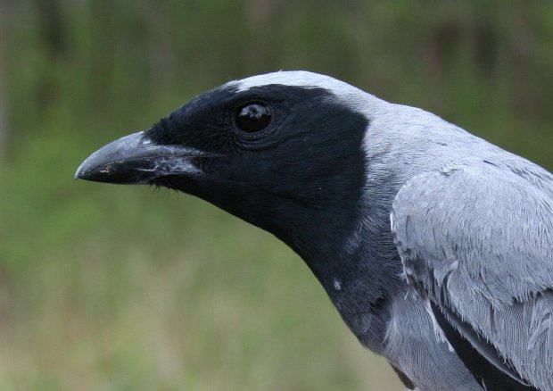 Black cuckoo shrike