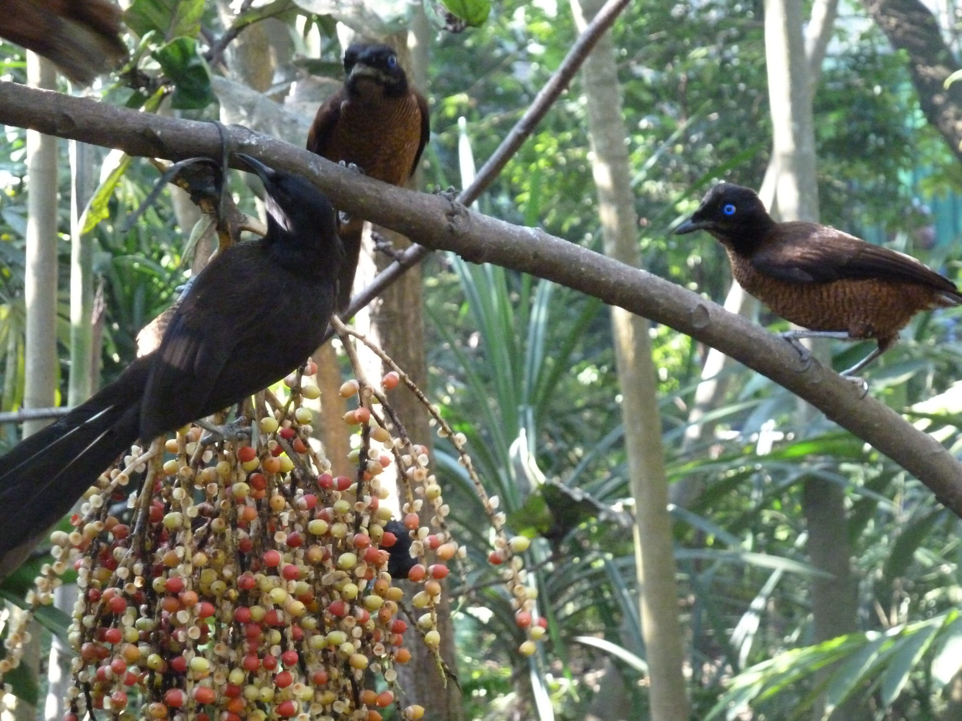 Papua Nieuw Guinea Birds of Paradise