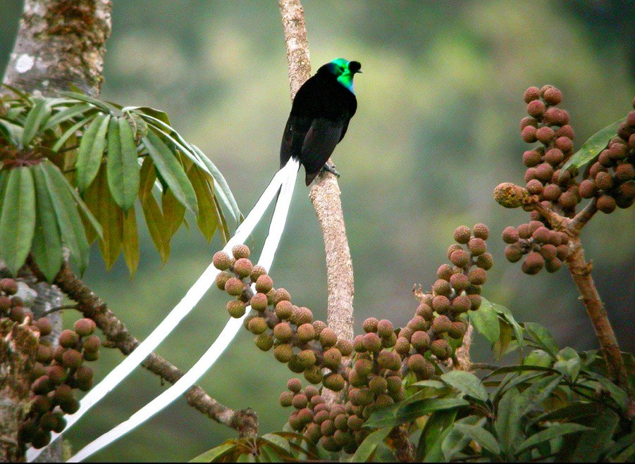 Ribbon-tailed Astrapia