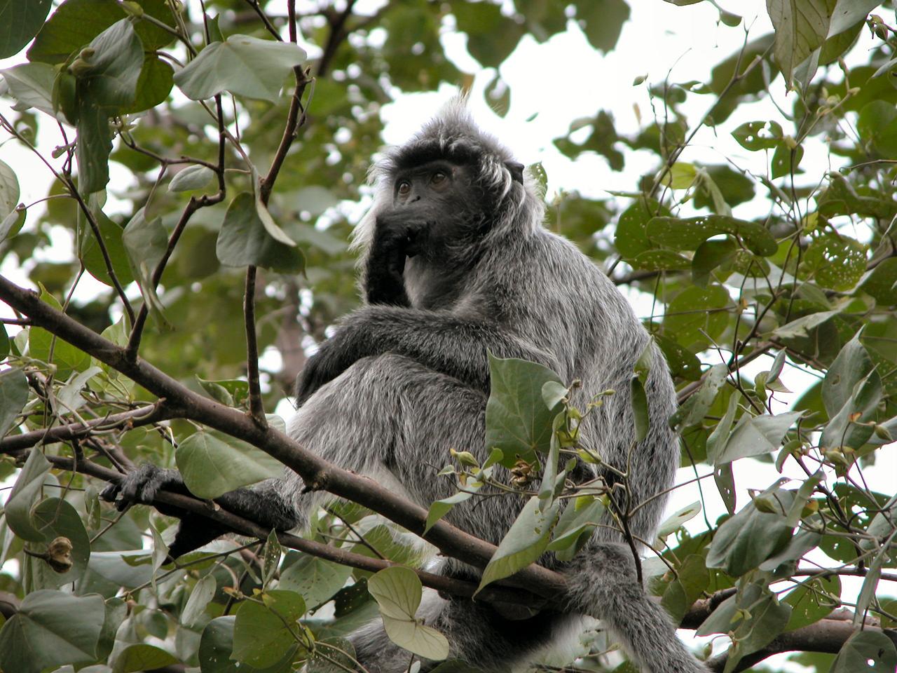Maleisië, Sarawak - silver leaf mongkey in Bako N.P.
