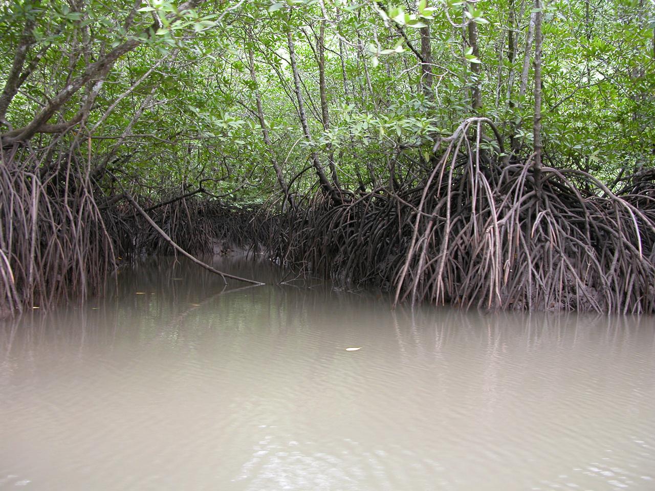 Maleisië, mangrove woud in Sarawak