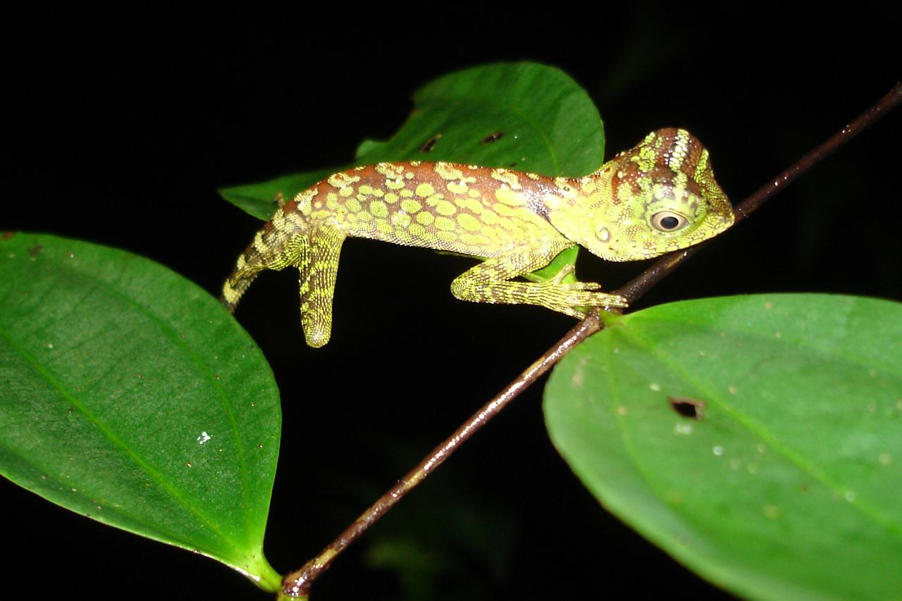 Maleisië, gezien tijdens nachtwandeling in het regenwoud - Sarawak