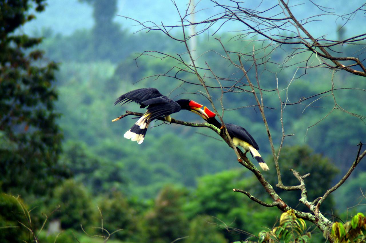 Maleisië, prachtige neushoornvogels tijdens wandeling in het regenwoud - Sarawak