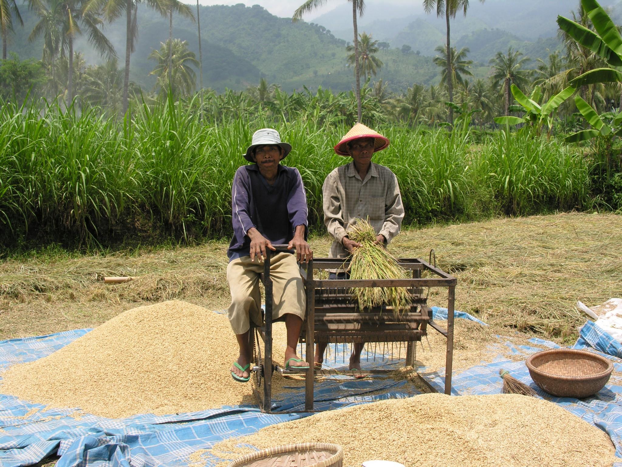 Indonesië, rijst oosten op Java