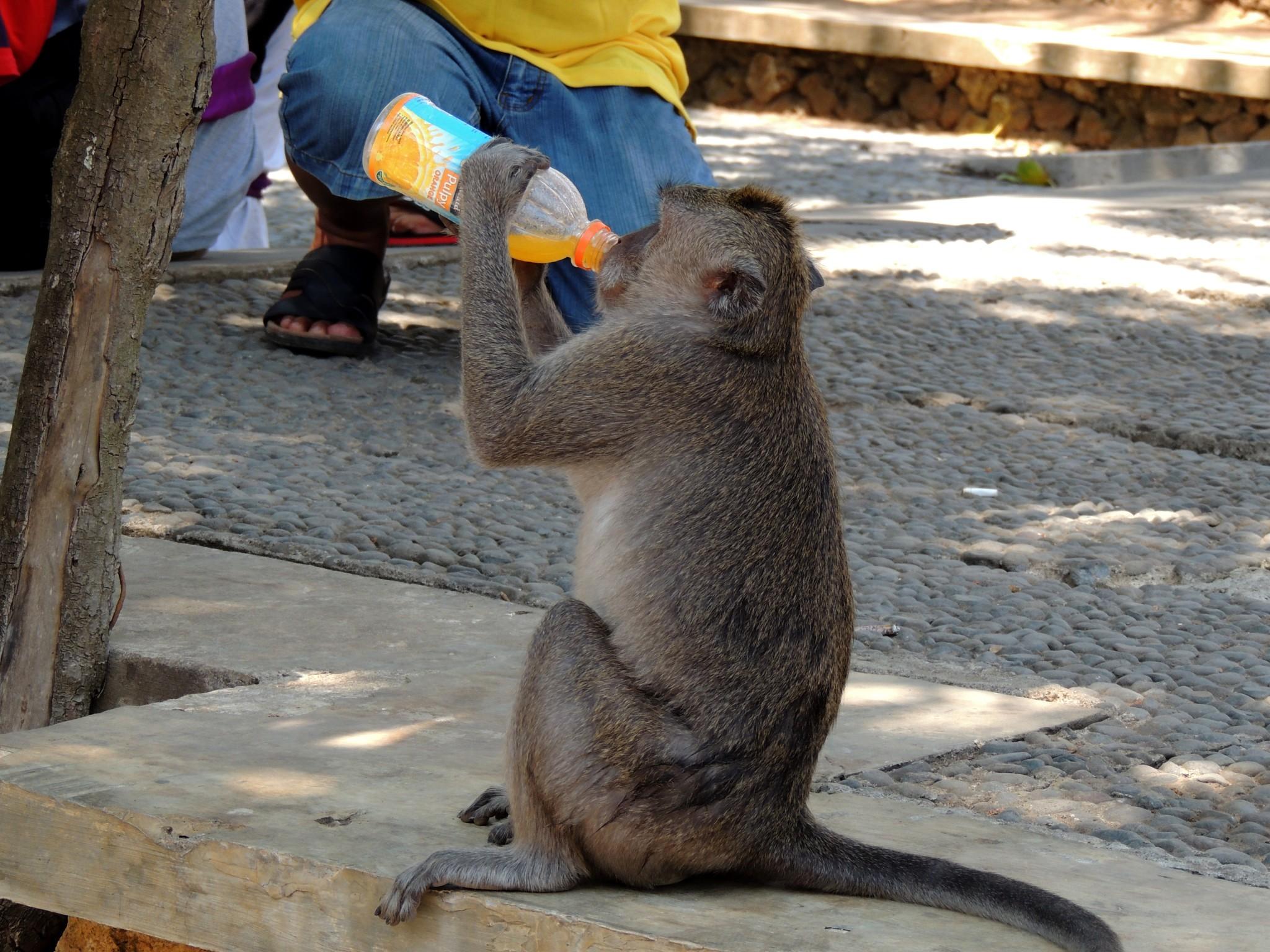 Indonesië, die makaak heeft ook dorst - Bali