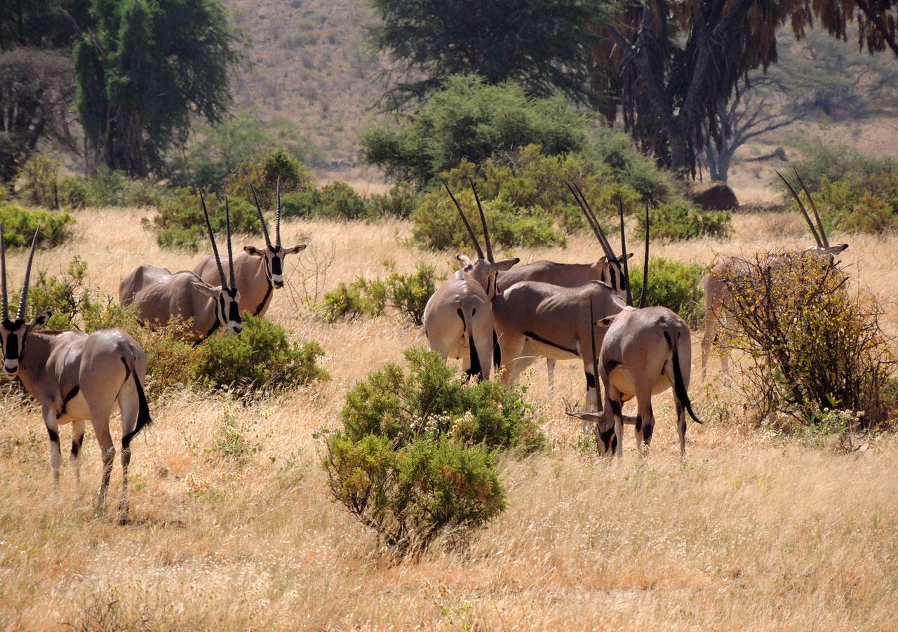 Kenia, Beisa Oryx - Samburu N.P.