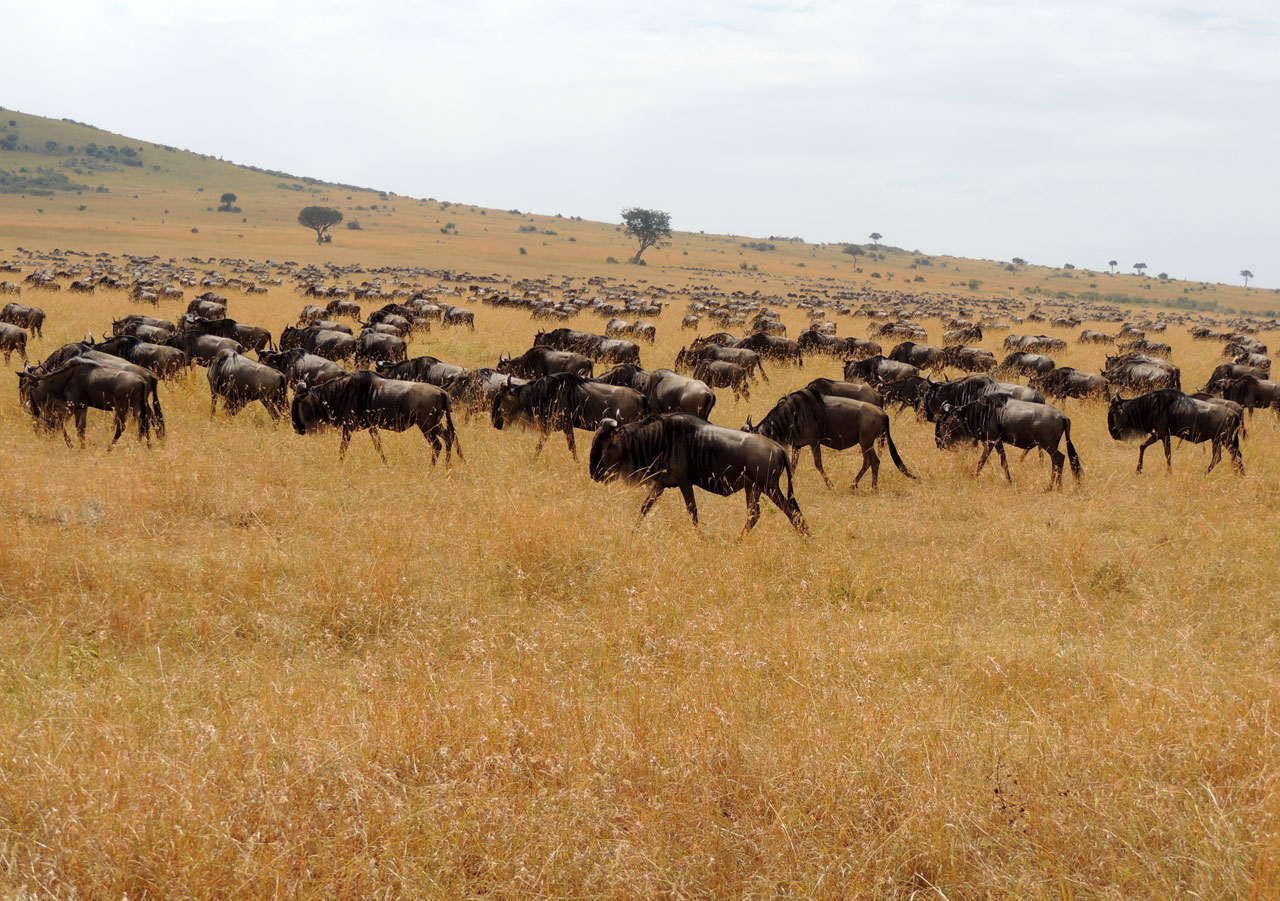 Kenia, Wildebeests of Genus in Masai Mara N.P.