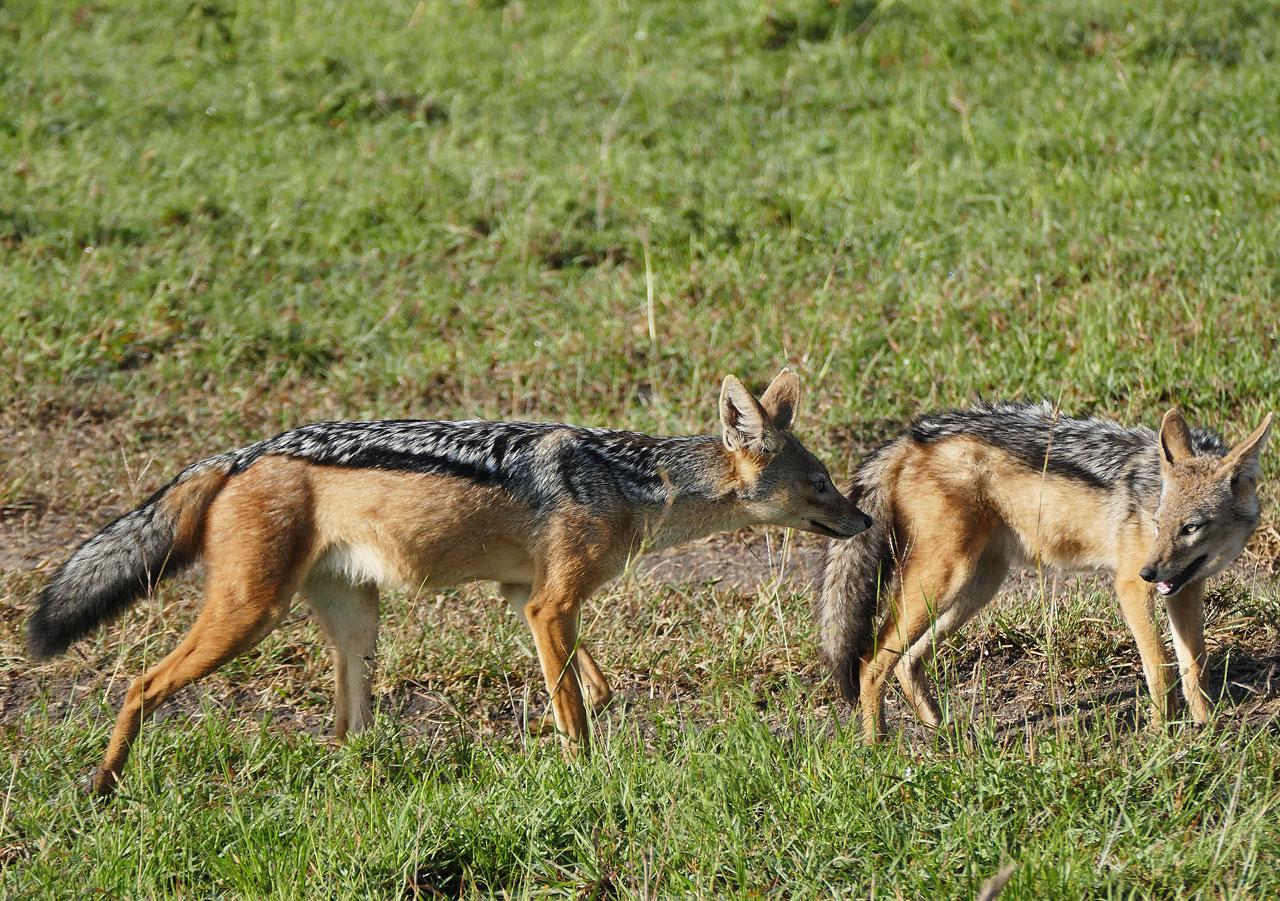 Kenia, Jakhalsen in Masai Mara N.P.