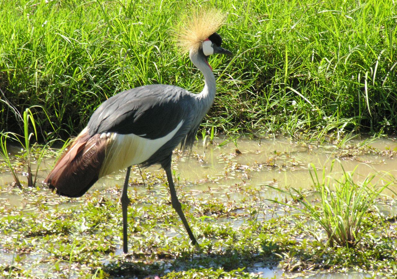 Kenia, kraanvogel in Masai Mara N.P.