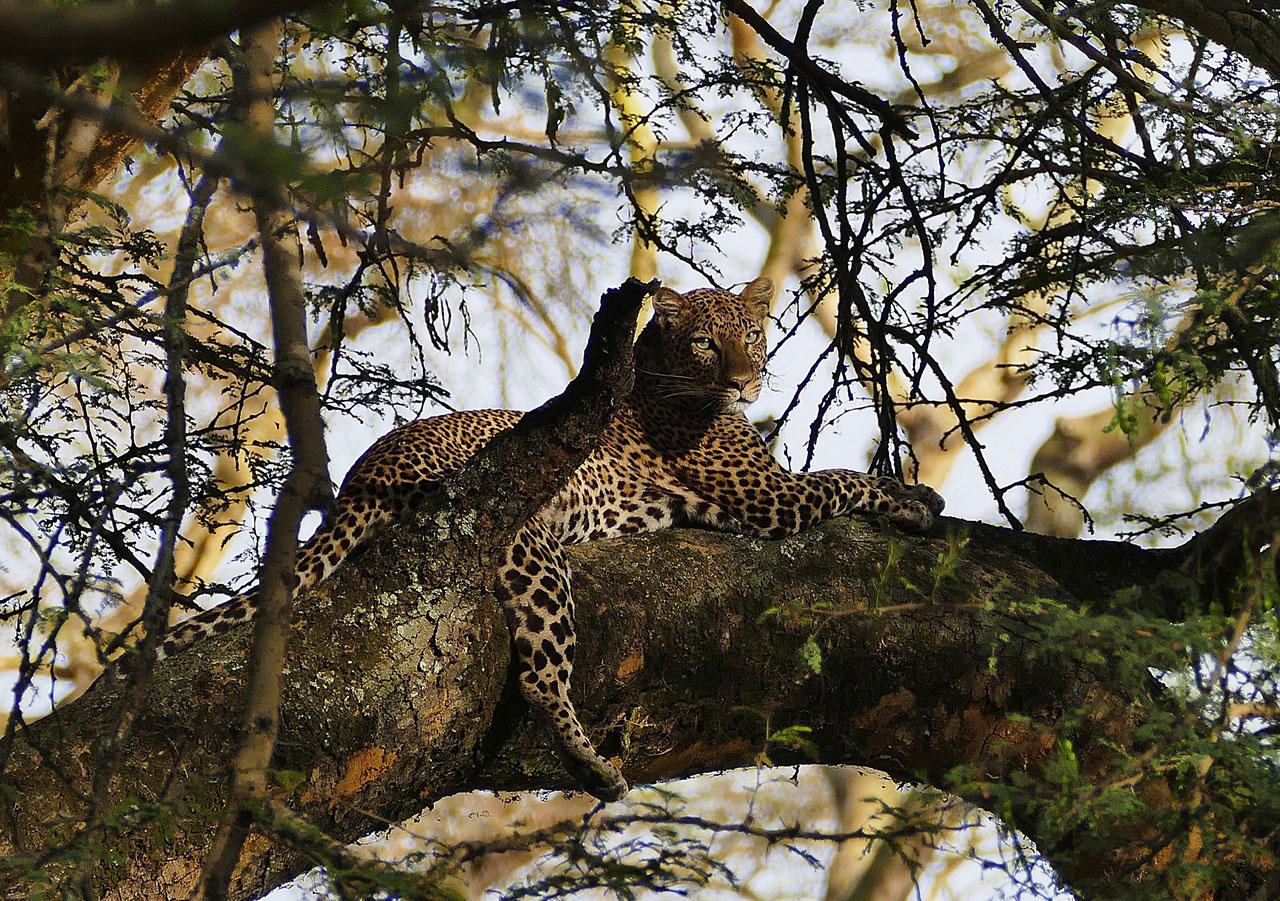 Kenia, Luipaard in Nakuru N.P.