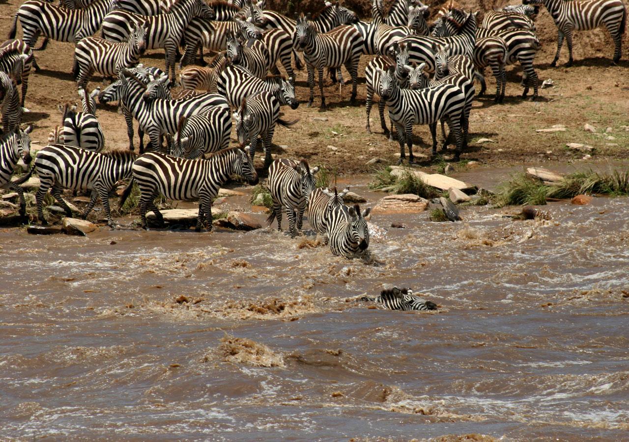 Kenia, Zeebras in Masai Mara N.P.