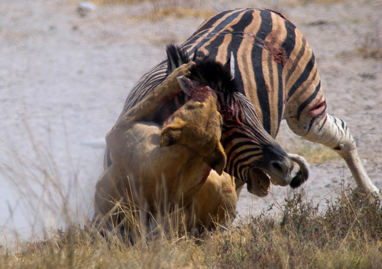 Kenia, Zeebra aangevallen in Masai Mara N.P.