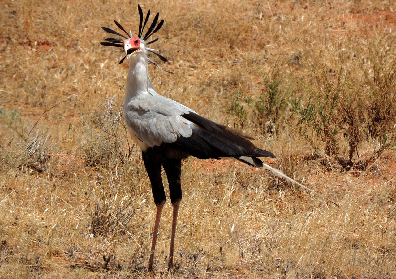 Kenia, Secretarisvogel in Masai Mara N.