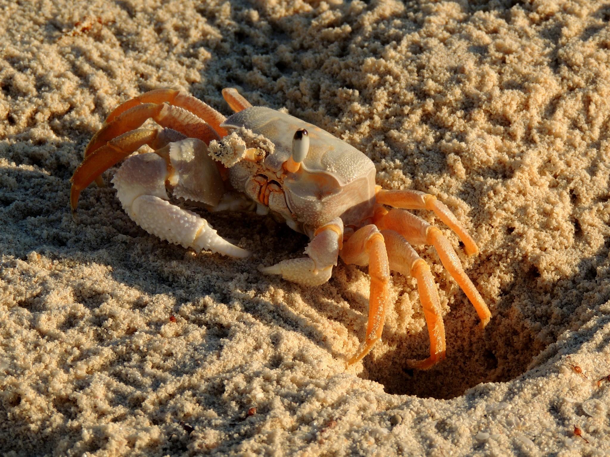 Madagascar, Kleine krab op het prachtige strand van Mikea,.