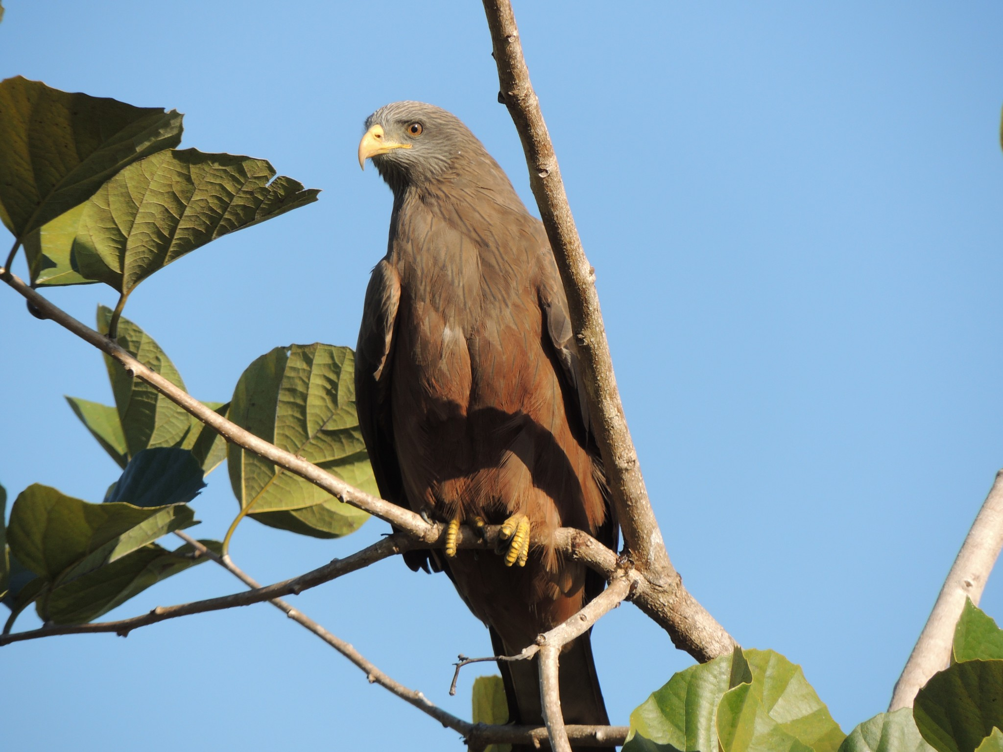 Madagascar, zwarte Wouw, een van de vele vogelsoorten die Madagascar telt.
