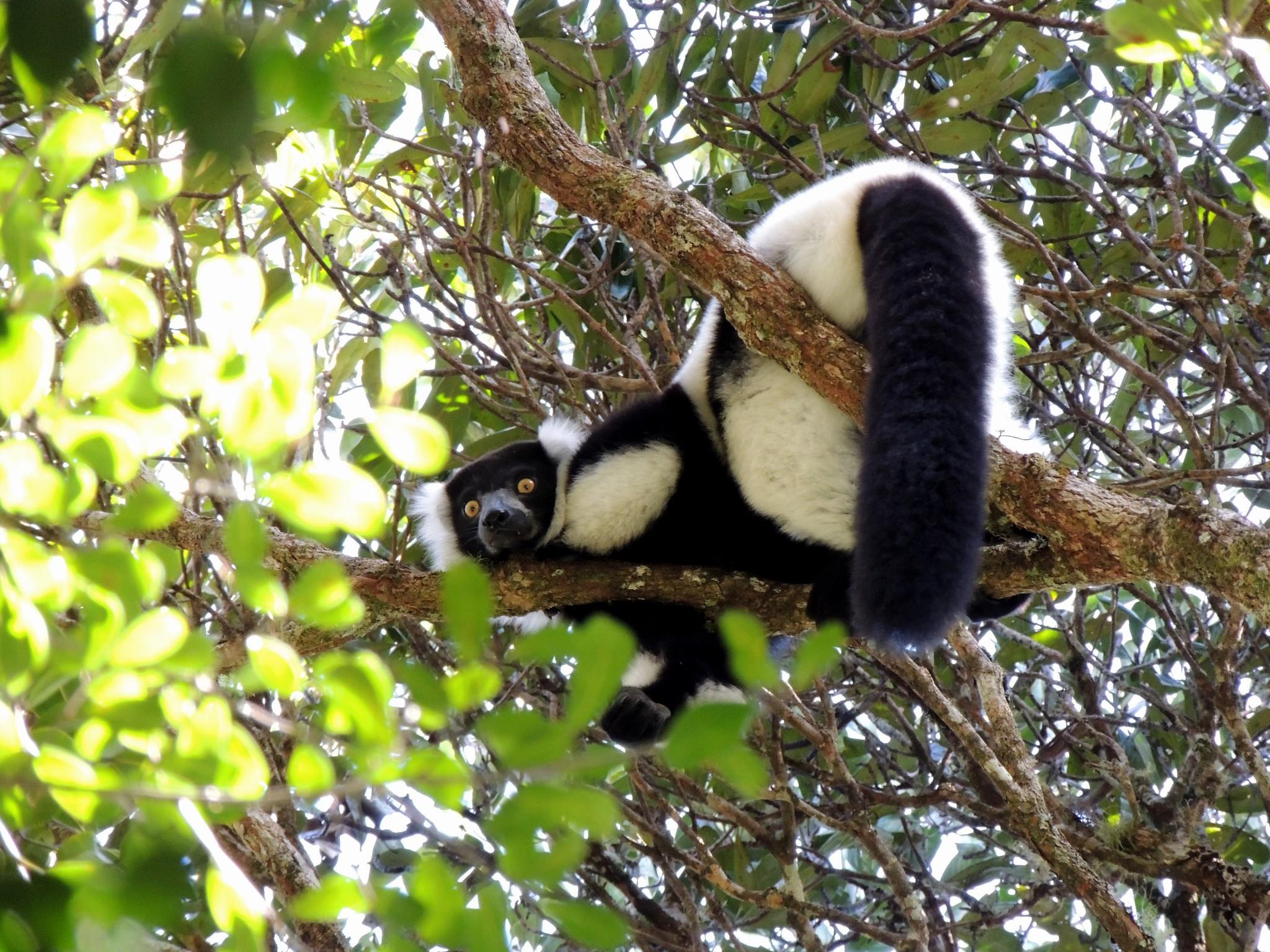 Madagascar, Zwart-witte vari of bonte maki