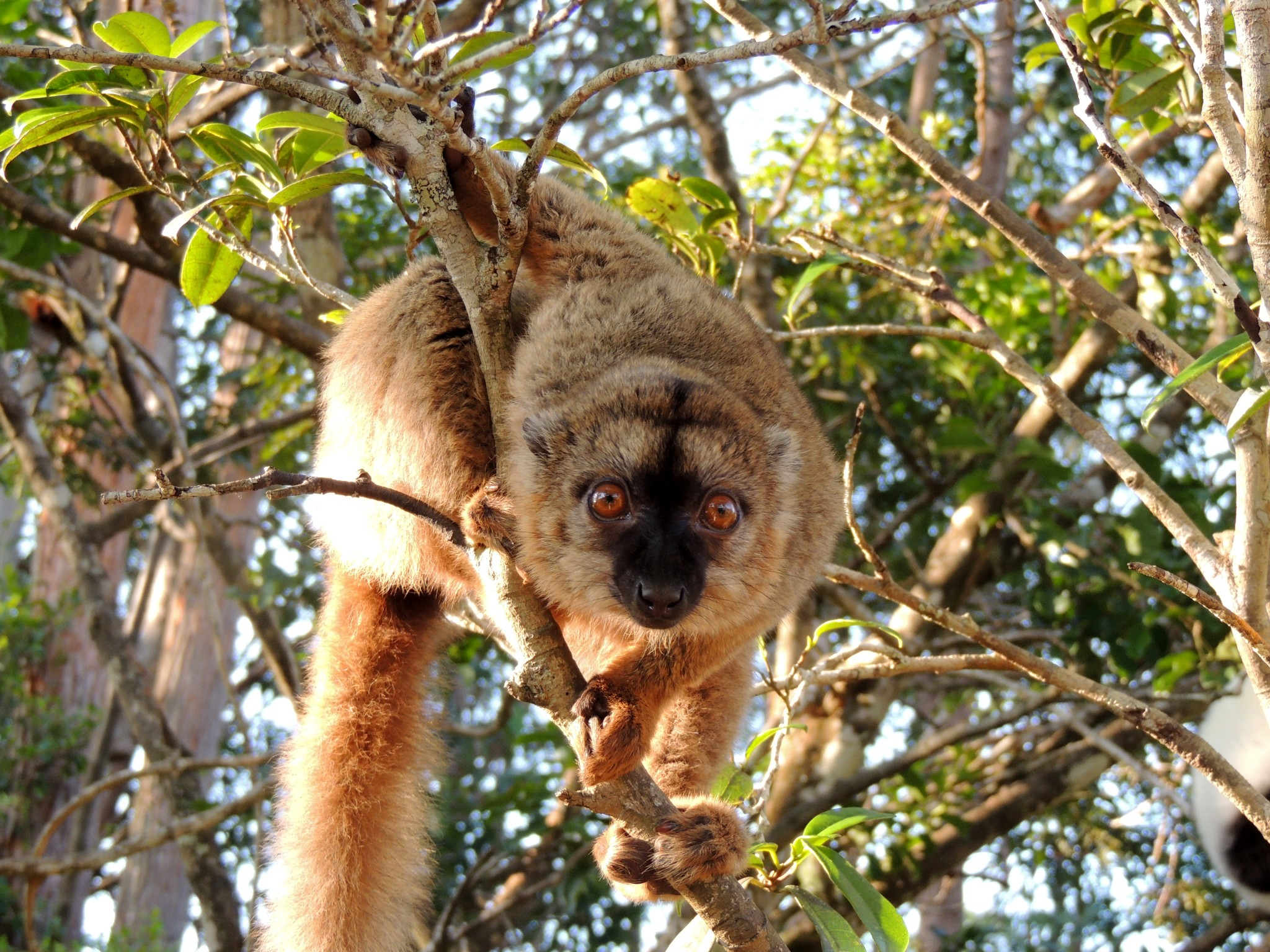 Madagascar, common brown lemur