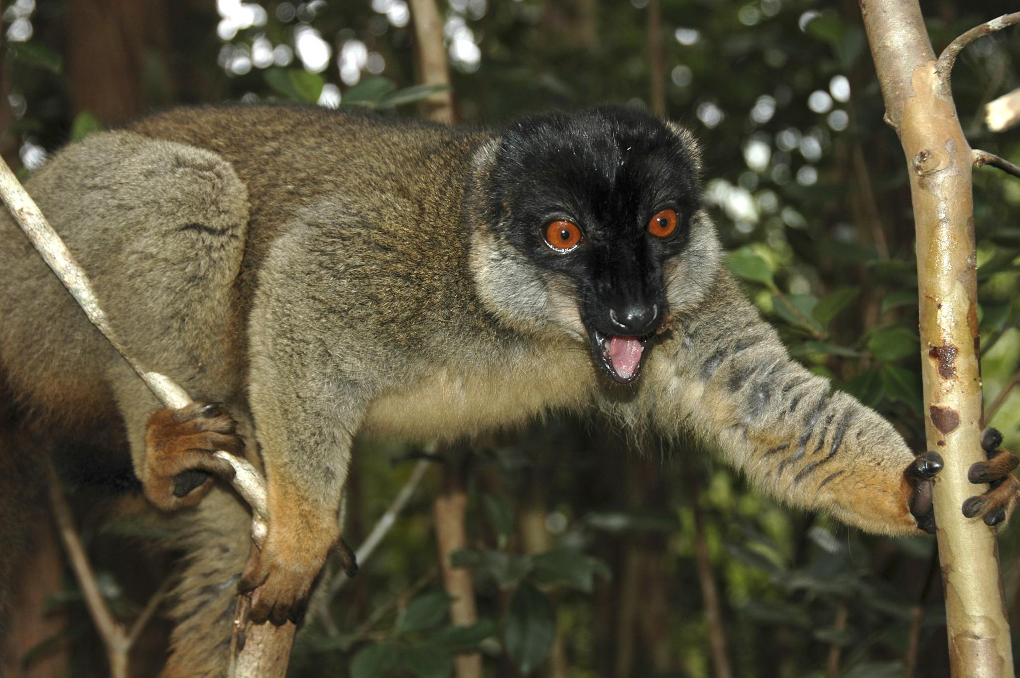 Lemur op Madagascar