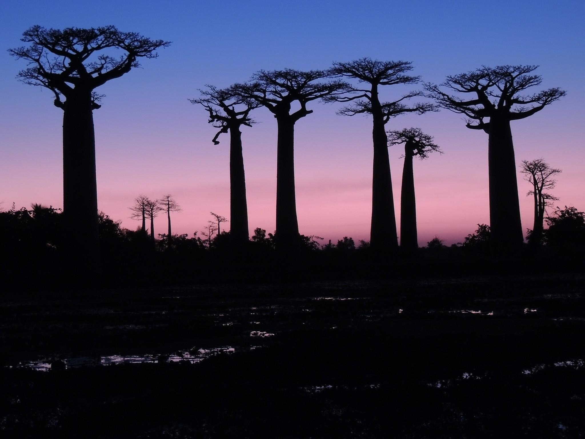 Madagascar, Avenue des Baobabs