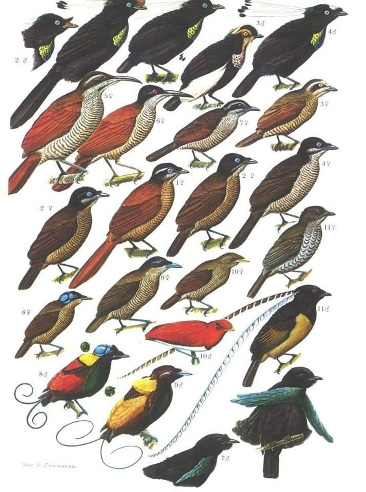 verschillende soorten Birds of Paradise
