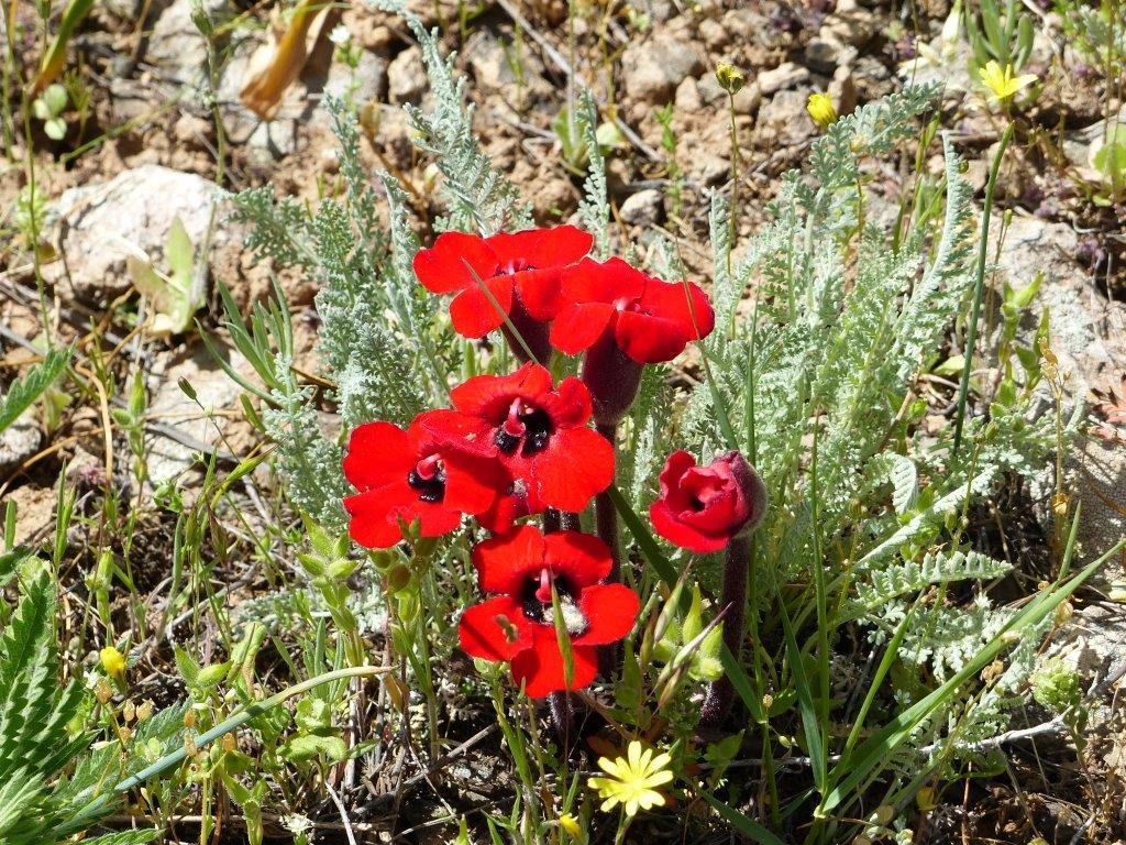 Diphelypaea tournefortii