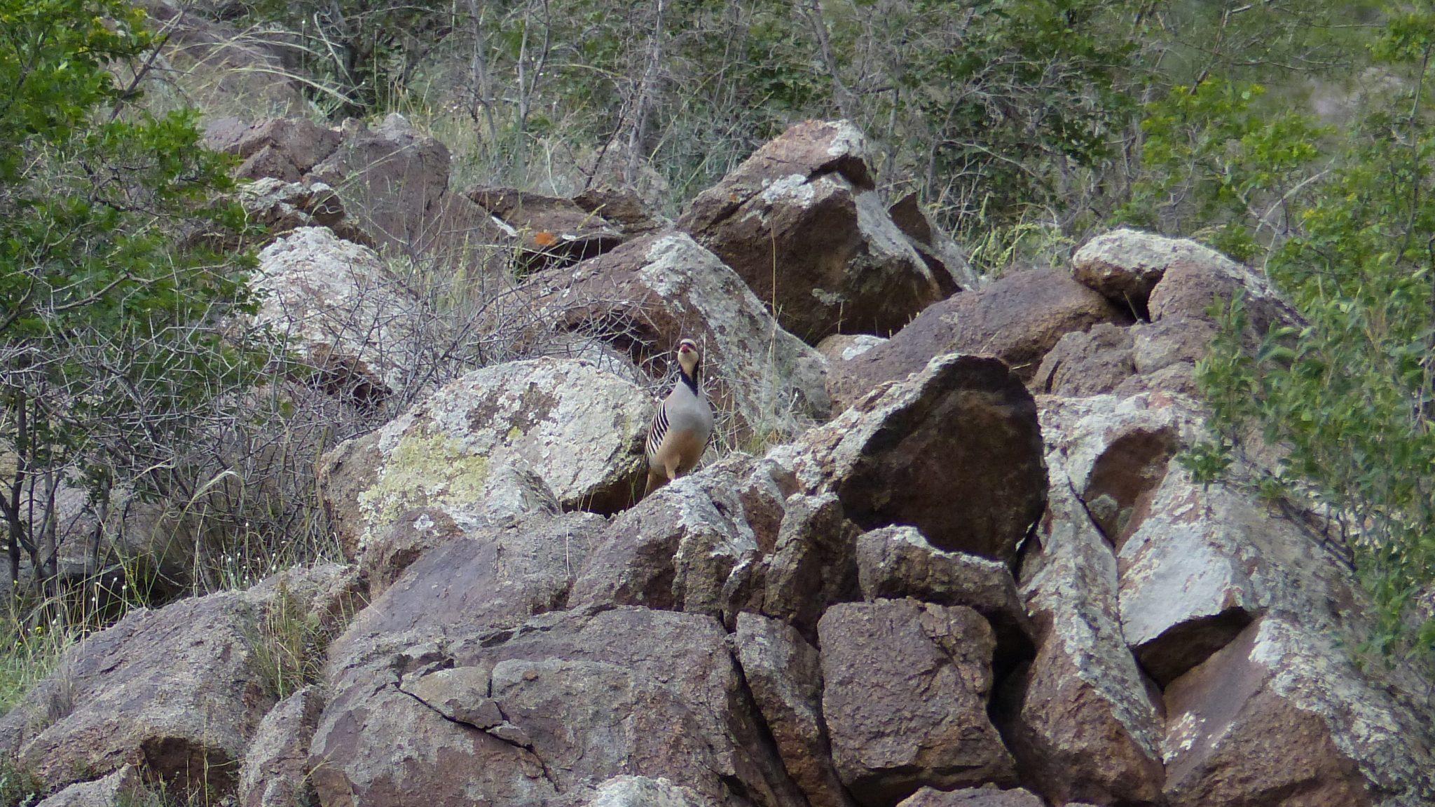 aziatisch steenpatrijs