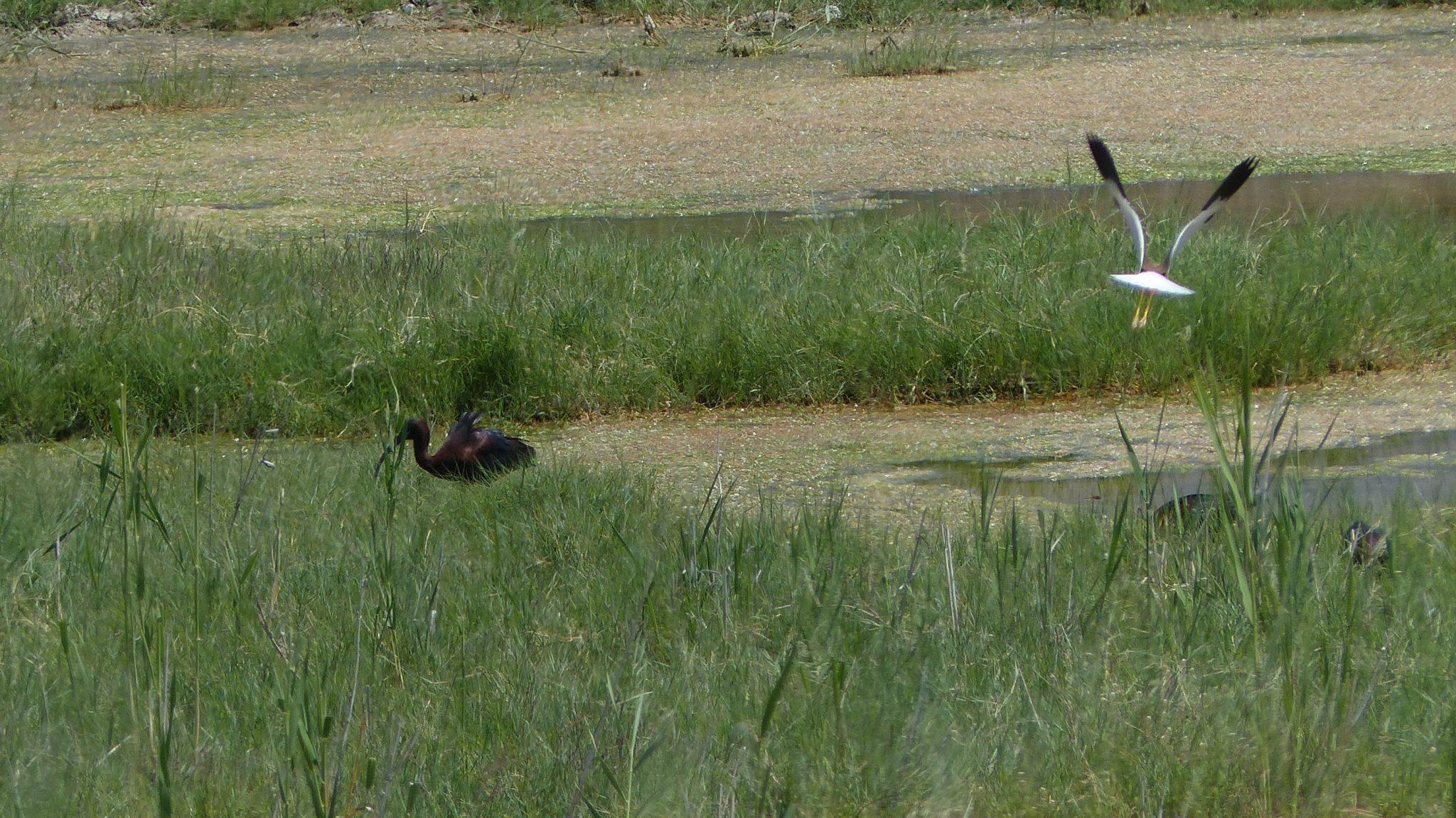 witstaartkieviet glosy ibis