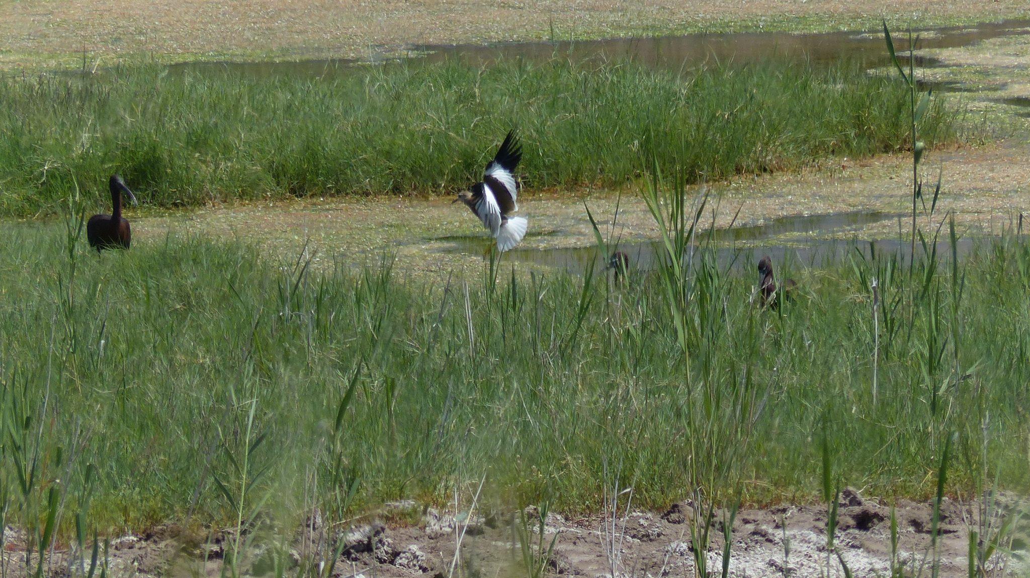 witstaartkievit gl ibis