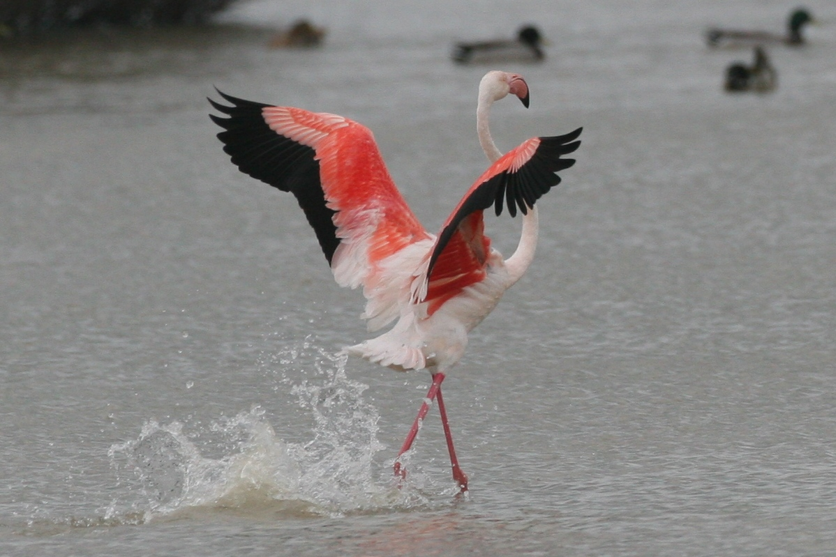 Flamingo Werner Goussey