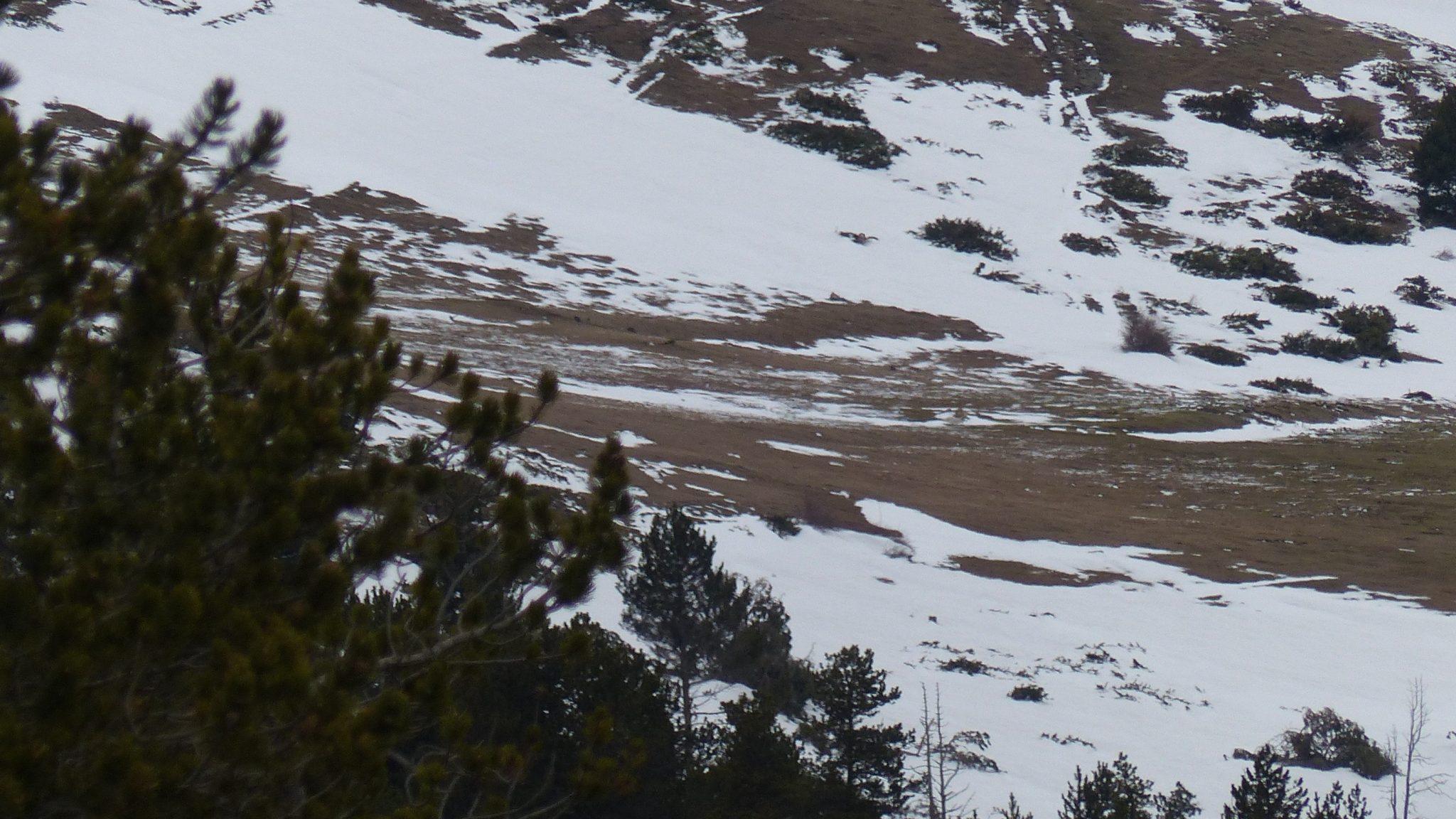 alpenmarmotten in de verte