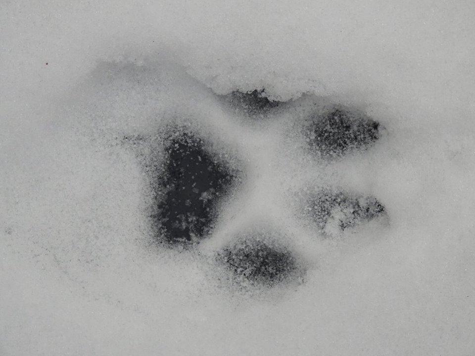 Wolvenspoor